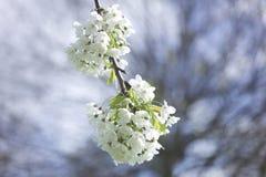 Blomning för vit blomma royaltyfri fotografi
