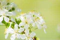Blomning för vit blomma för lös körsbär i vår Arkivbilder