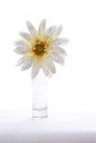 Blomning för vit blomma i ett exponeringsglas Royaltyfri Bild