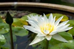 Blomning för vit lotusblomma royaltyfria foton