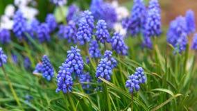 Blomning f?r armeniacum f?r Muscari f?r druvahyacint i tidig v?r royaltyfria bilder