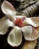 blomning fallen magnolia Arkivfoto