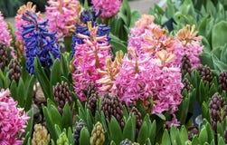 Blomning Hyacinth Tricolor av lökformiga blomningväxter i familjasparagaceaen Royaltyfria Bilder