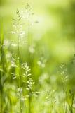 Blomning Juni för grönt gräs Arkivfoto
