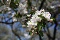Blomning på äppleträd Arkivfoto
