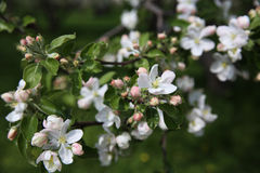 Blomning på äppleträd Royaltyfri Foto