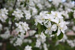 Blomning på äppleträd Arkivfoton