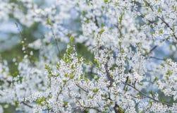 Blomning Plum Tree Arkivfoton