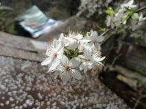 Blomning Plum Tree Royaltyfri Foto