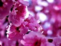 Blomning Plum Tree Blossoms Arkivfoton