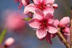 blomning rosa Royaltyfri Foto