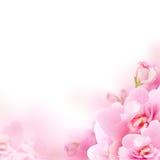 Blomning - rosa färg blommar, blom- bakgrund Royaltyfri Bild