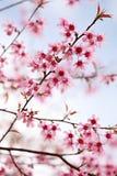 blomning rosa sakura Arkivfoto