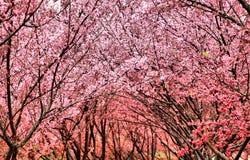 blomning rosa sakura Fotografering för Bildbyråer