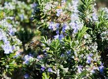 Blomning Rosemary Plant With ett bi Arkivfoto