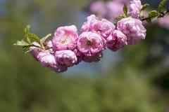 Blomning Sakura Blomma trädgårdar royaltyfri foto