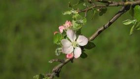 Blomning sakura i trädgården arkivfilmer