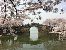Blomning Sakura med bron nära Taihu sjön royaltyfri bild