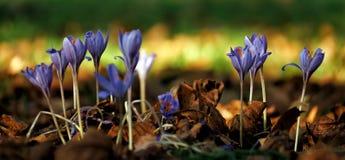 Blomning-Time av pasque-blomman Närbild arkivbild
