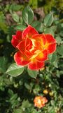 Blomningapelsin Royaltyfri Bild