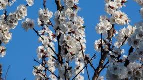 Blomningaprikons förgrena sig mot bakgrunden för blå himmel Arkivbild