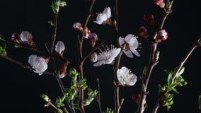 Blomningaprikosblommor lager videofilmer