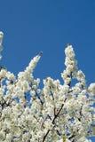 blomningar Royaltyfri Bild