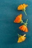Blomningar av calendulas (Calendulaofficinalis) Arkivbilder