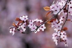Blomningar av den japanska körsbärsröda treen Royaltyfri Bild