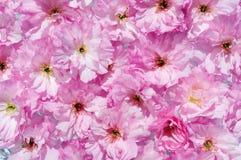 Blomningar av en närbild för körsbärsrött träd Royaltyfria Foton