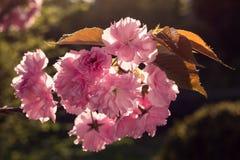 Blomningar av ett körsbärsrött träd arkivfoto