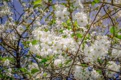 Blomningar av ett surt körsbärsrött träd i våren Arkivfoto