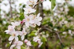 Blomningar av fruktträd Royaltyfri Foto