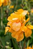 Blomningar av gula gladioli Royaltyfria Bilder