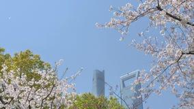 Blomningar av körsbärsröda blommor på filial för körsbärsrött träd och fallande körsbärsröda blommakronblad i bris som att regna  lager videofilmer