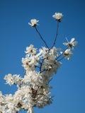 Blomningar av vita rhododendroner Royaltyfri Fotografi