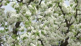 Blomningar Cherry Tree med Gray Sky Background 4K UltraHD, UHD arkivfilmer