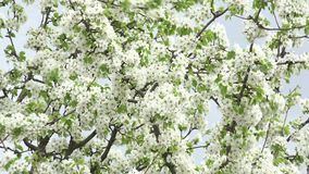 Blomningar Cherry Tree med Gray Sky Background Zoom in/out 4K UltraHD, UHD lager videofilmer