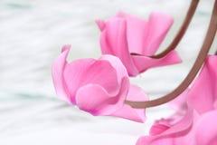 blomningar cyclamen Royaltyfri Foto