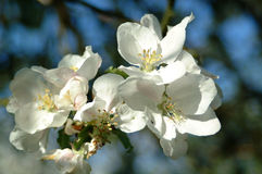 blomningar för 1 äpple Arkivfoto