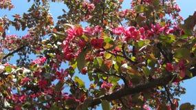 Blomningar för Apple träd Arkivbilder