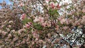 Blomningar för Apple träd Royaltyfri Bild