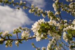 Blomningar för Apple träd Arkivbild