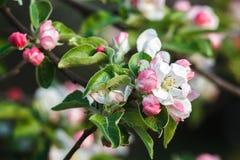 Blomningar för Apple träd Royaltyfri Fotografi