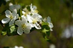 Blomningar för Apple träd Arkivfoton