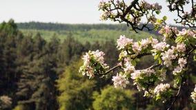Blomningar för Apple träd Fotografering för Bildbyråer