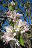 Blomningar för Apple träd Royaltyfria Bilder