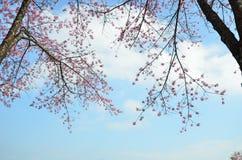 Blomningar för blommavårrosa färger Royaltyfri Fotografi