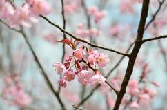 Blomningar för blommavårrosa färger Royaltyfria Bilder