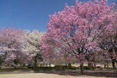 Blomningar för körsbärsrött träd Arkivfoto